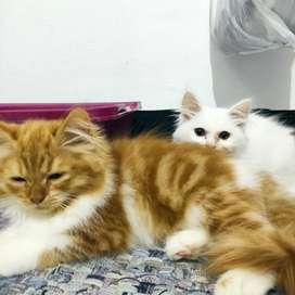 PROMO 2 Ekor Kucing Persia BETINA Sehat Lincah