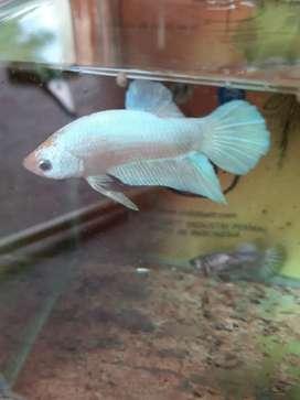 Ikan cupang sutra platinum limited