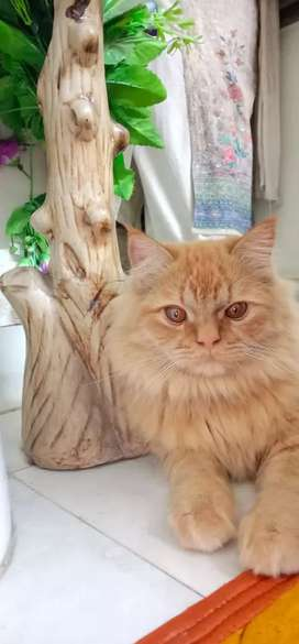 Persian cat male one year old