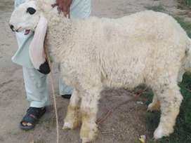5 nishan mukamal baby sheep