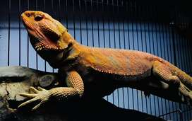Bearded Dragon | Rare banget nih!