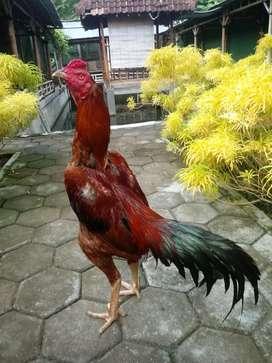 Ayam Bangkok Pakoy original