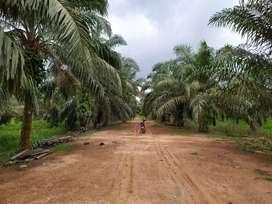 Kebun sawit 150 Hektar