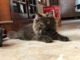 Kucing persia kitten 3bulan