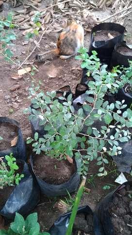 Pohon bidara Arab sidr besar