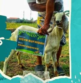 Kambing Super Untuk Aqiqah Best Quality Bandar Lampung