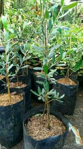 Bibit Pohon Zaitun Black Mission