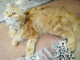 Fawn Color Persian Cat Doll Face