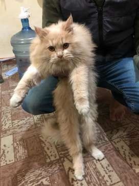Persian male kitten tripple coat