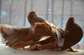Super big tail pigeons lakka sale