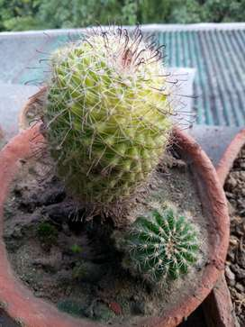 Cactus for domestic decoration and nature service