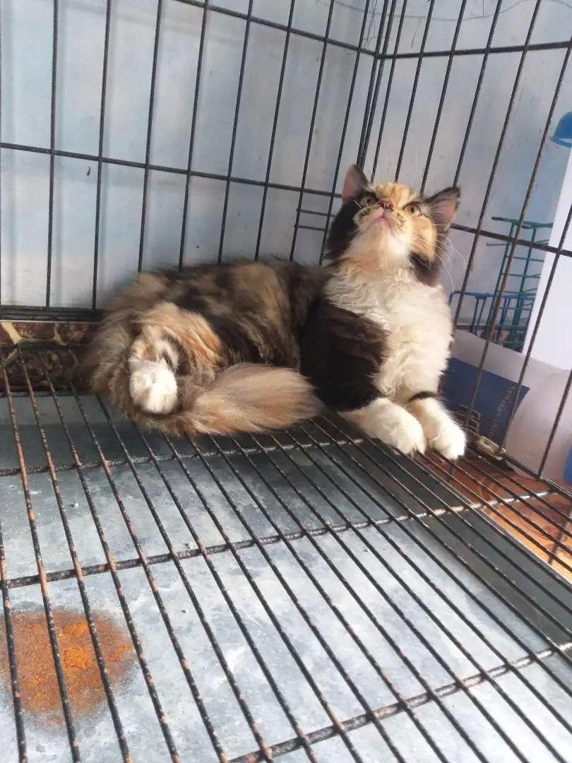 kucing persia X norwegia