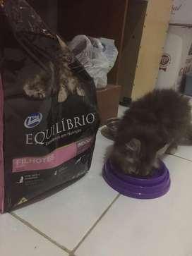 Kucing 4 bulan betina