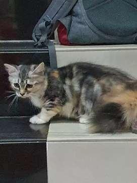 Open Adopt Kucing Anggora Betina