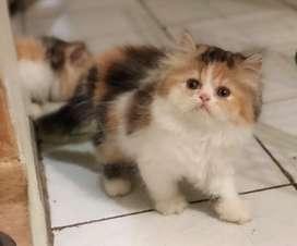 kucing persia anakan peaknose