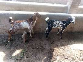 Goats kid's for sale