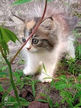 Persian kittten 85 days