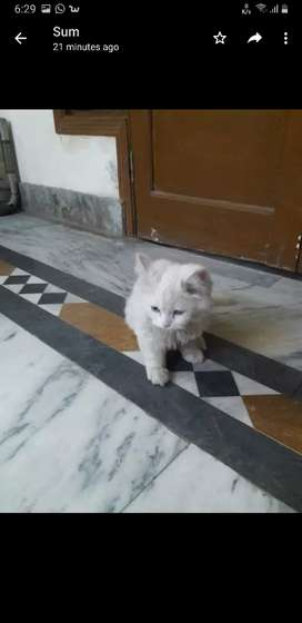 Persion cat kitten for sale