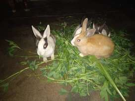 Rabbit Pair for sale