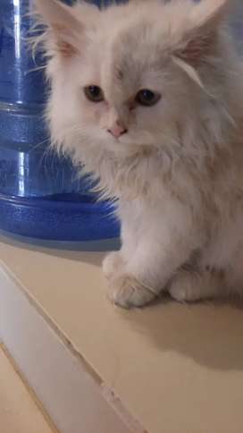 Male Persian Kitten for sale.