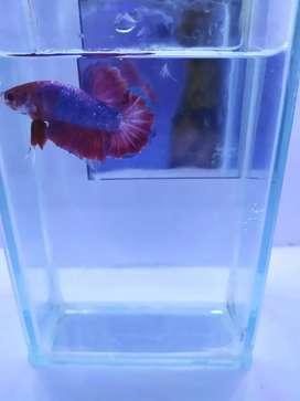 Ikan cupang hellboy (male)