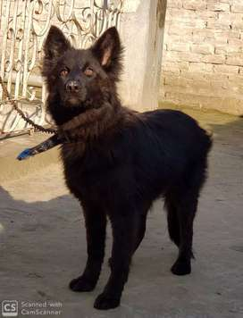 Black german sheferd non ped female of 4 month long coat dog for sale