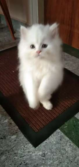 Persian kittens high quality double available