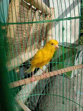 Burung kenari kuning joss