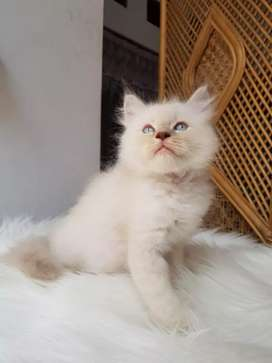 Kucing Kitten Midol Himalaya Mata Biru