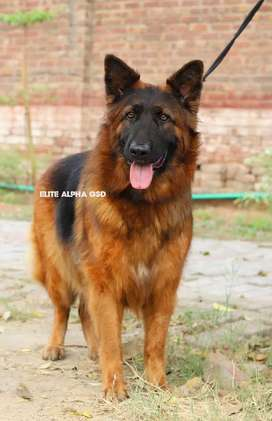 Imported German Shepherd long Coat breeder female