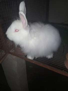 Joint angora rabbit
