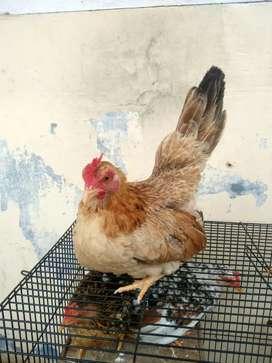 Di jual ayam Kate borongan dengan harga murah meriah