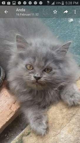 Kucing Anggora 3 bulan