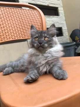 Kucing maine coon x Norwegian jantan ganteng
