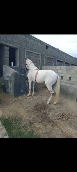 Urgent sale nazabaz horse gift for horse lovers pure