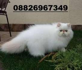 Persian cat kitten good linges super good linges avi call me top top