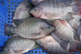 Ikan nila segar / Hidup / bumbu