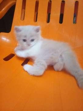 Anak Kucing Persia Original