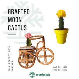 Grafted Moon Cactus