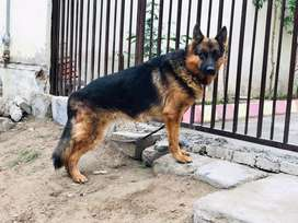 German shephred Double Coat