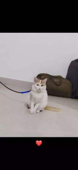 Mix breed Persian cats