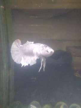 Ikan platinum sehat