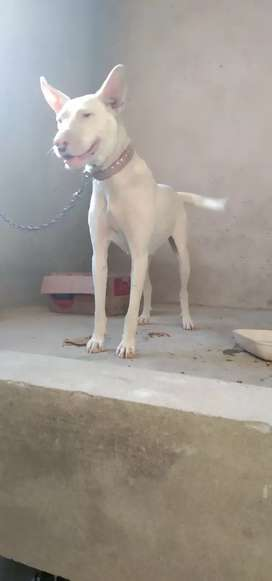 Female dog kohati gultair