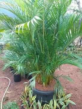 tanaman hias palem kuning plus pot tinggi1mtr50