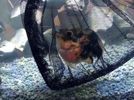 Ikan louhan bonsai + aquarium