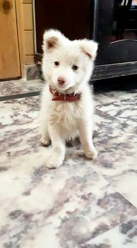 Orignal russian breed,double coated,vaccinated,age 4 months,play dog