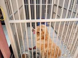 Anjing golden retriver betina dijual dengan kandang nya
