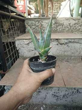 Sansivera pinguinculata antik/langka buat koleksi tanaman hias