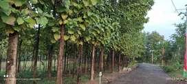 Dijual Kavling Jati Bonus Pohon Jati Besar Akses Mudah