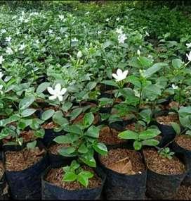 Melati Jasmine bunga putih